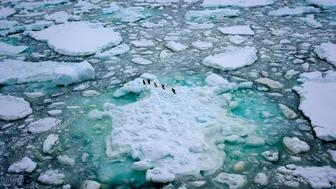 A group of Adeli penguins travel over the sea