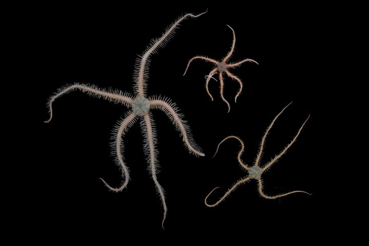 Ophiuroid brittle stars collected off Lecointe Island.