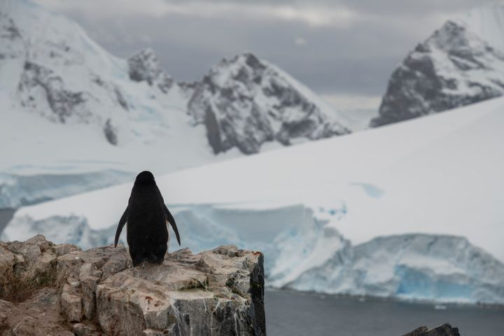 A chinstrap penguin checks out the view.