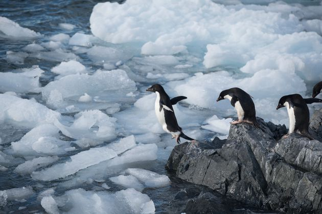 Members of an Adelie penguin colony in Hope Bay head out to