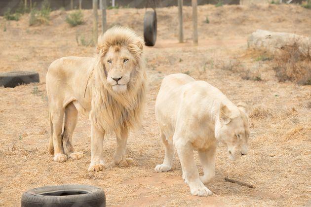 Νότια Αφρική: Λαθροκυνηγός κατασπαράχθηκε από αγέλη λιονταριών σε καταφύγιο της Νότιας