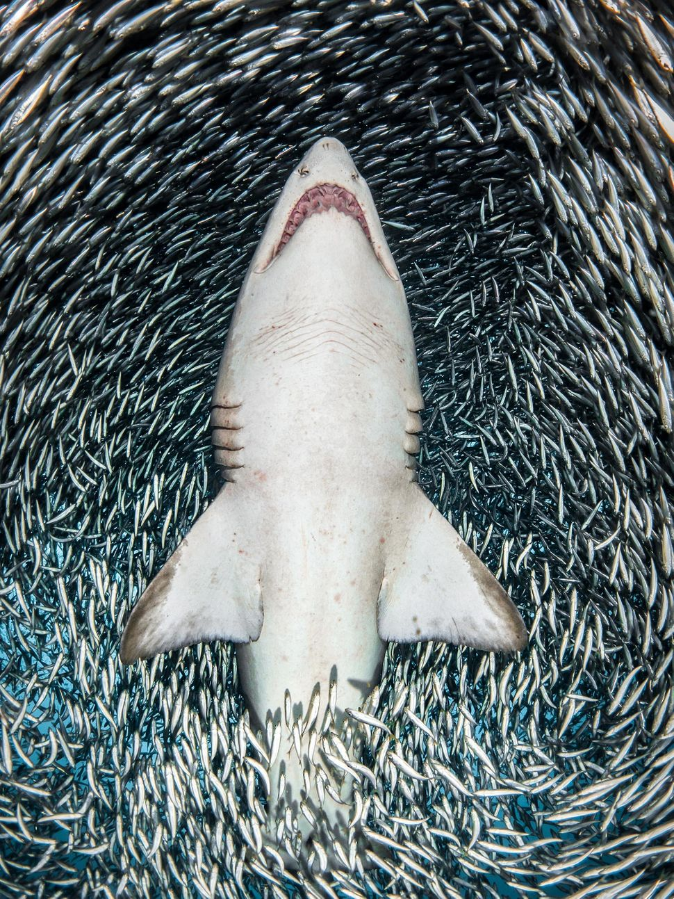 "<strong>Winner: ""A sand tiger shark surrounded by tiny bait fish""</strong>"