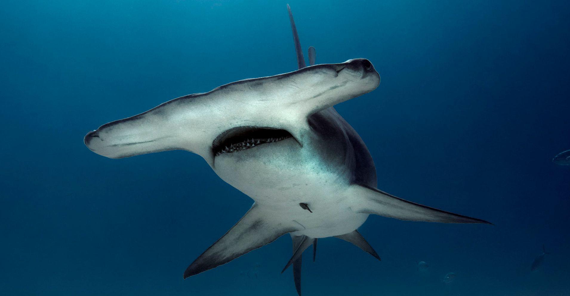 Fishermen Drag Endangered Hammerhead Shark Onto Florida ...