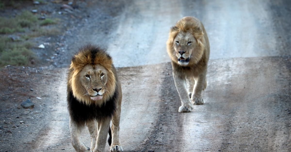 Lions Eat Suspected Poacher In South Africa – Leaving Behind Just His Head