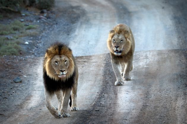 The man was eaten by lions (file