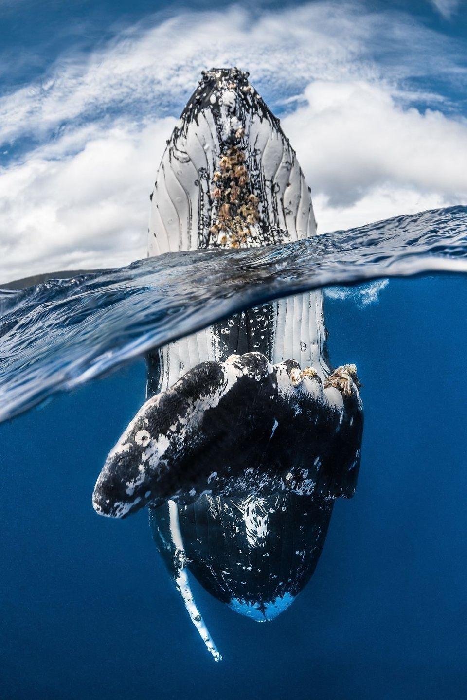 Νικητής: «Humpback whale spy