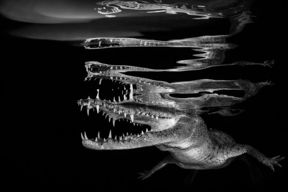 Νικητής: «Crocodile
