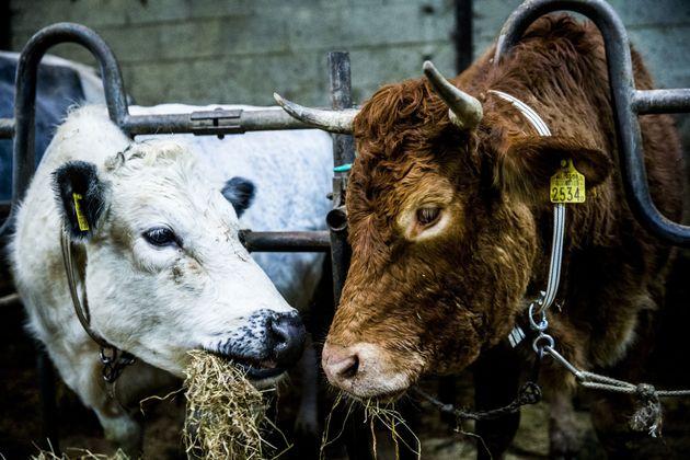 Έρμιεν, η αντάρτισσα - αγελάδα που το έσκασε από σφαγείο, βόσκει πλέον ήσυχη σε οίκο ευγηρίας για