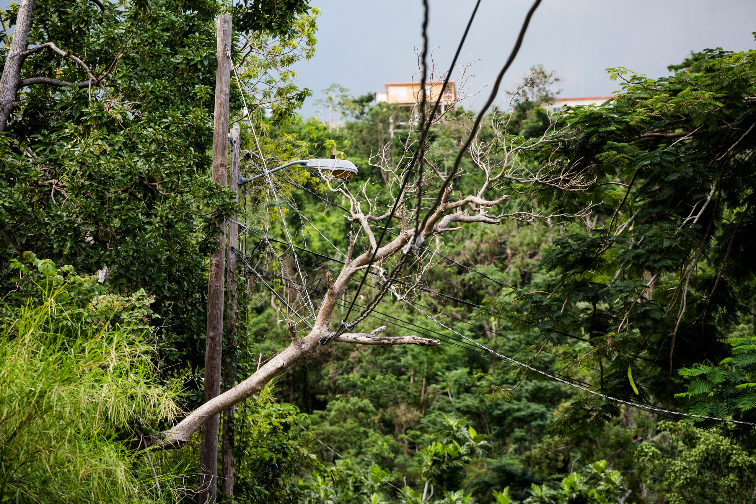 A tree branch ensnarled with electrical wires in the mountains of Rincón, Puerto Rico