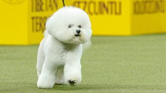 Flynn, a bichon frise walks after winning the nonsporting group during judging at the 142nd Westminster Kennel Club Dog Show in New York, U.S., February 12, 2018. REUTERS/Brendan McDermid