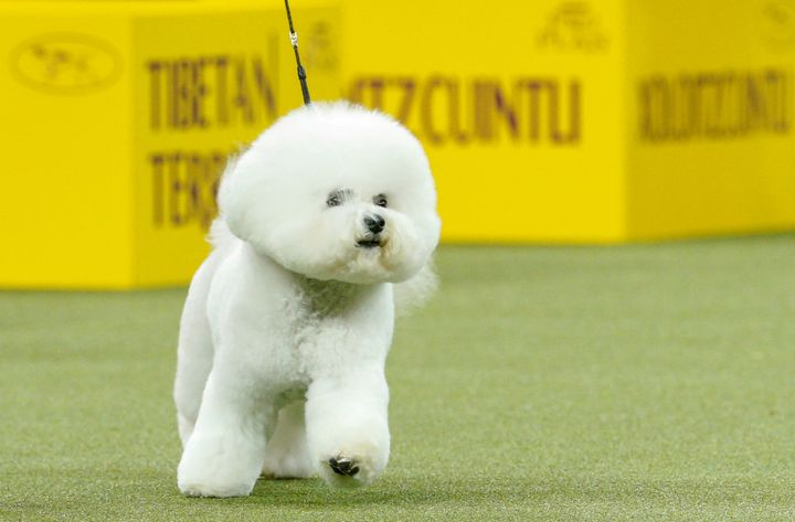 Flynn is top dog at the142nd Westminster Kennel Club Dog Show.