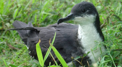 Efforts to protect the Newell's shearwater, an imperiled Hawaiian seabird, could be hurt if a Trump administration budget pro