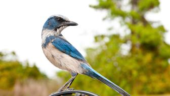 Florida, Cape Coral, near Seahawk Park, Florida Scrub Jay. (Photo By: Education Images/UIG via Getty Images)