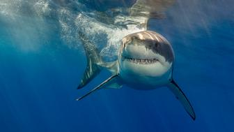 White shark on the surface with it's fins down ready to pounce.