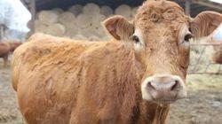Μία ηρωική αγελάδα από την Πολωνία δραπέτευσε από το σφαγείο και κολύμπησε προς την