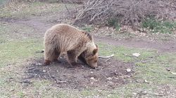 Αρκουδάκι γλύτωσε την πώληση - είχε μπει αγγελία για 1.100