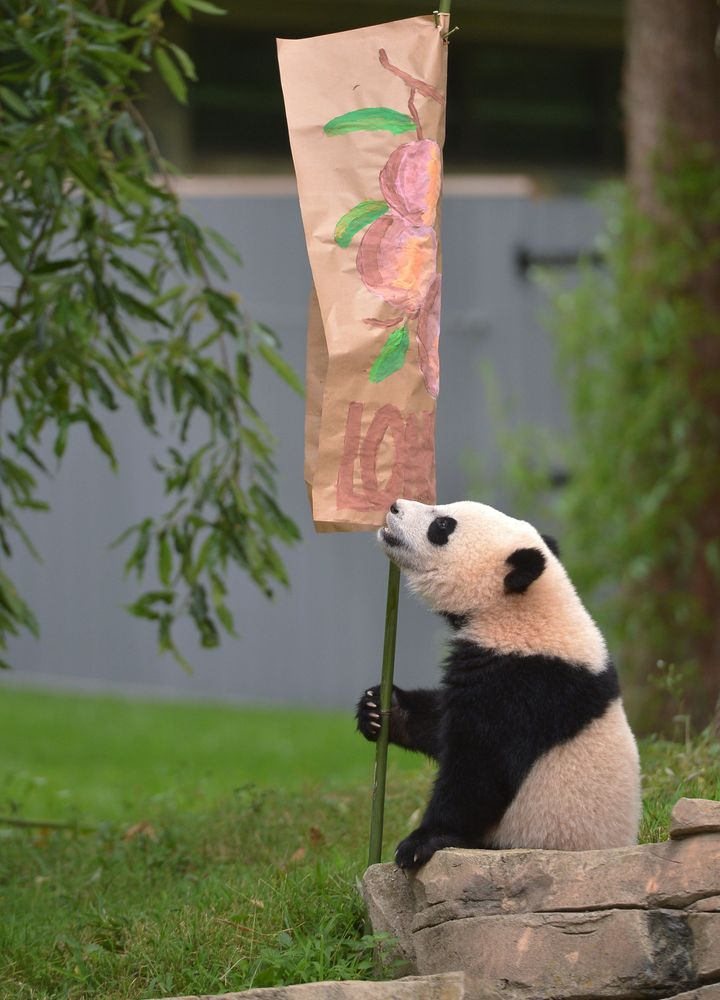 """Bao Bao sits under a longevity poster duringher 2014 """"Zhuazhou"""" birthday ceremony at the National Zoo in Washington, D.C."""