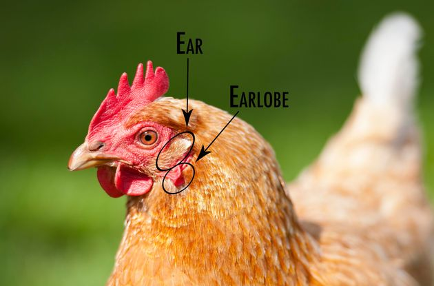 The chicken's earlobe sits just below its ear, which you may not have
