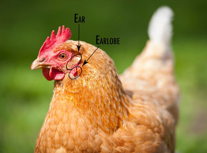 The chicken's earlobe sits just below its ear, which you may not have noticed.