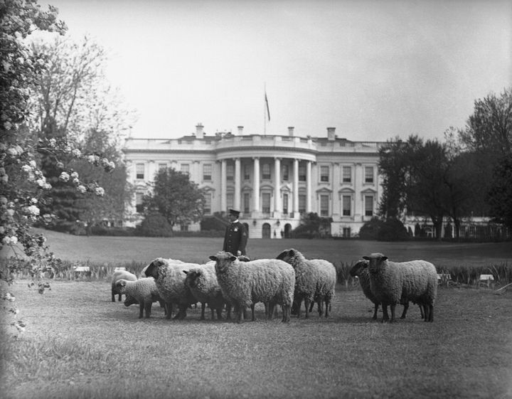 Sheep grazing on the White House Lawn in 1918.