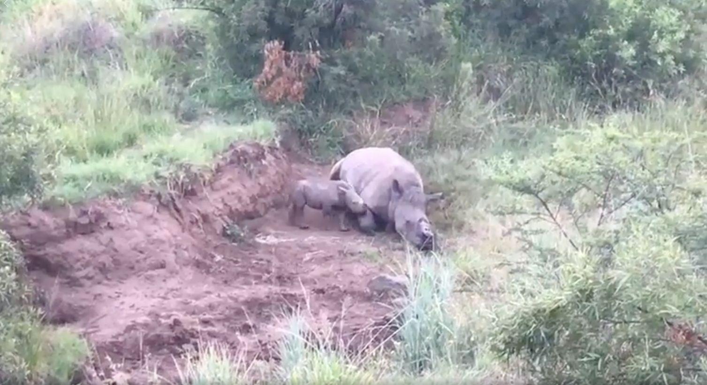 Nashorn-Baby trauert um erschossene Mutter, dann entdecken es
