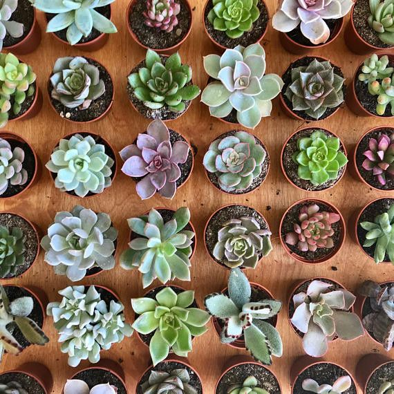 """Get a pack of 10 starting at $30+ <a href=""""https://www.etsy.com/listing/569343336/assorted-small-succulents-2-inch-live?ga_or"""