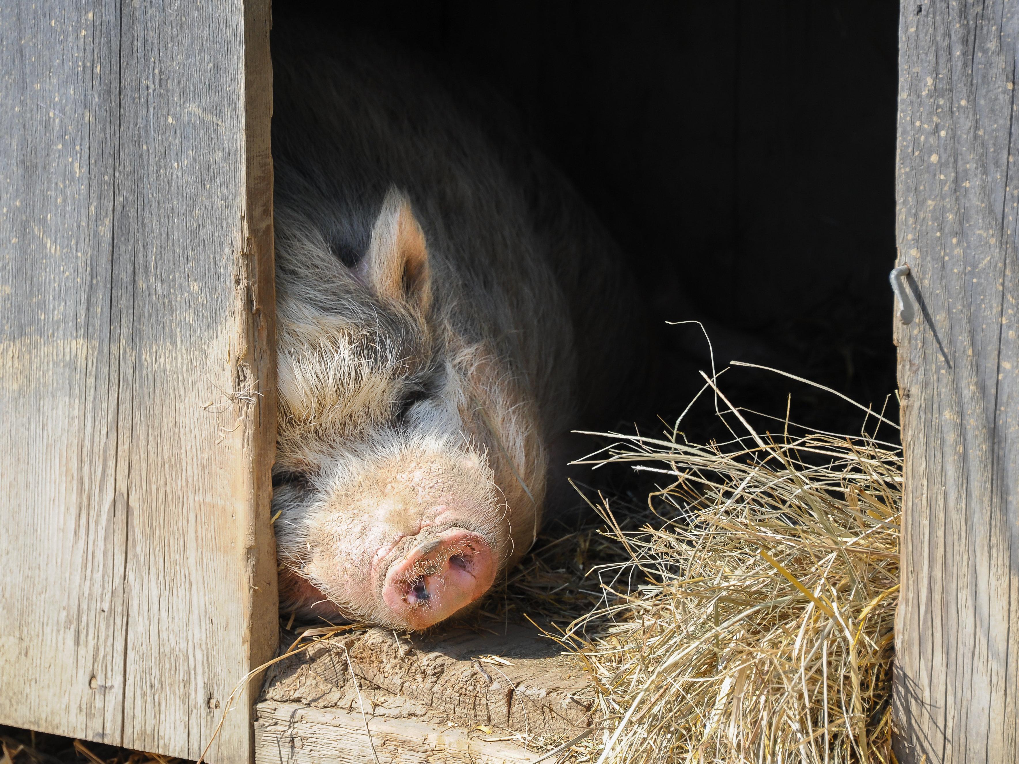 A Vietnamese pot bellied pig (Sus scrofa f. domestica) on a farm
