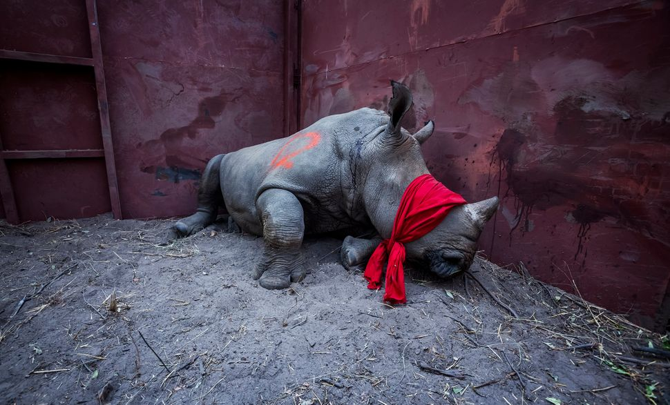 A young white rhino waits in a boma, blindfolded and partially drugged after a long journey from South Africa, before being r