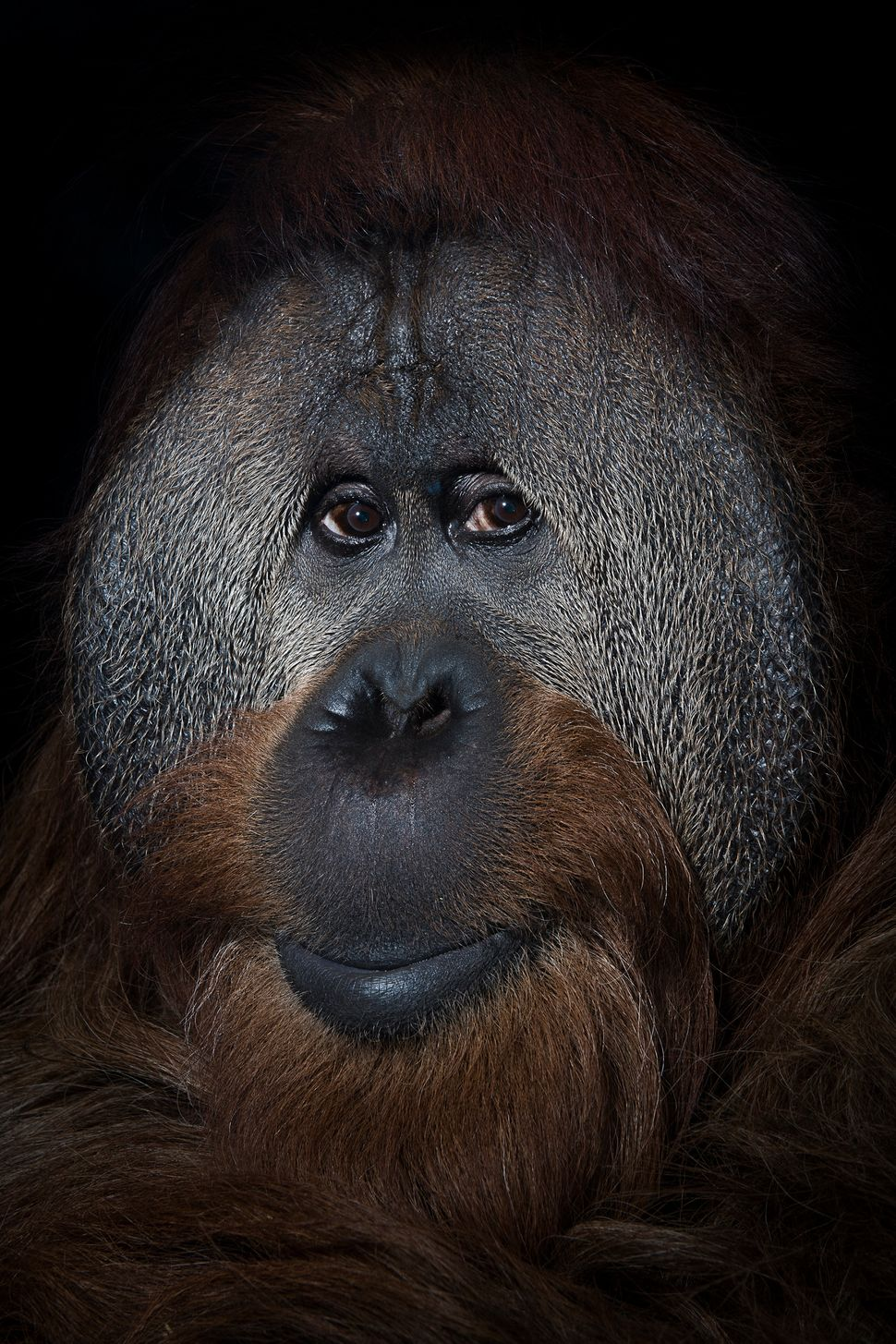 A 40-year-old orangutan named Azy at the Simon Skjodt International Orangutan Center in Indianapolis, Indiana.