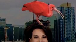 News Anchor Has To Wing It When Pink Bird Flies On Her