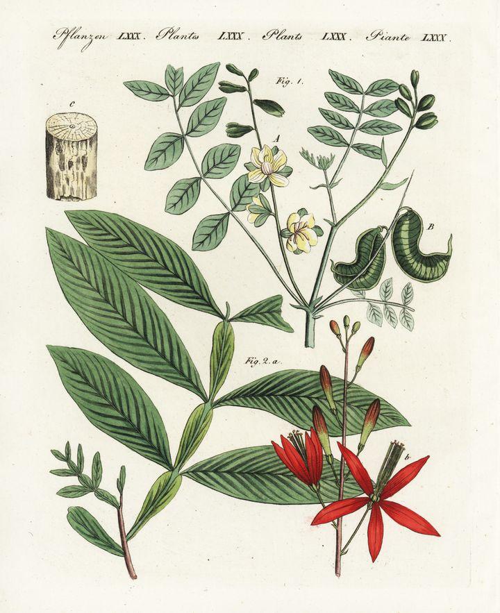 An 1802 illustration of senna, a natural laxative, byFriedrich Johann Bertuch.