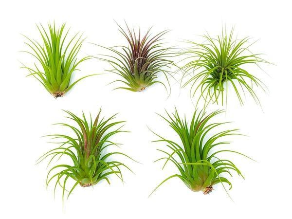 "Get them <a href=""https://www.amazon.com/Low-Light-Air-Plants-Tillandsia/dp/B071DDNHRF/ref=sr_1_4?amp=&ie=UTF8&keywords=bulk+"