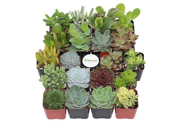 """Get them <a href=""""https://www.amazon.com/Shop-Succulents-Unique-Succulent-Collection/dp/B018WLMXG2/ref=sr_1_5?amp=&ie=UTF8&ke"""