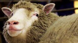 Erzieher spaziert nichtsahnend mit Kindern – dann rammt ein Schaf sie ins Krankenhaus