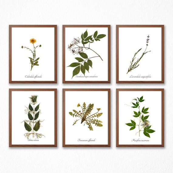 """Get it from <a href=""""https://www.etsy.com/listing/505323438/medicinal-herb-print-collection-set-of-6?ga_order=most_relevant&a"""