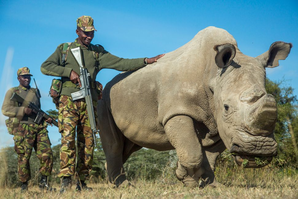 Sudan, a northern white rhinoceros, is protected by armed guards John Mugo and Daniel Maina at Ol Pejeta Conservancy on June