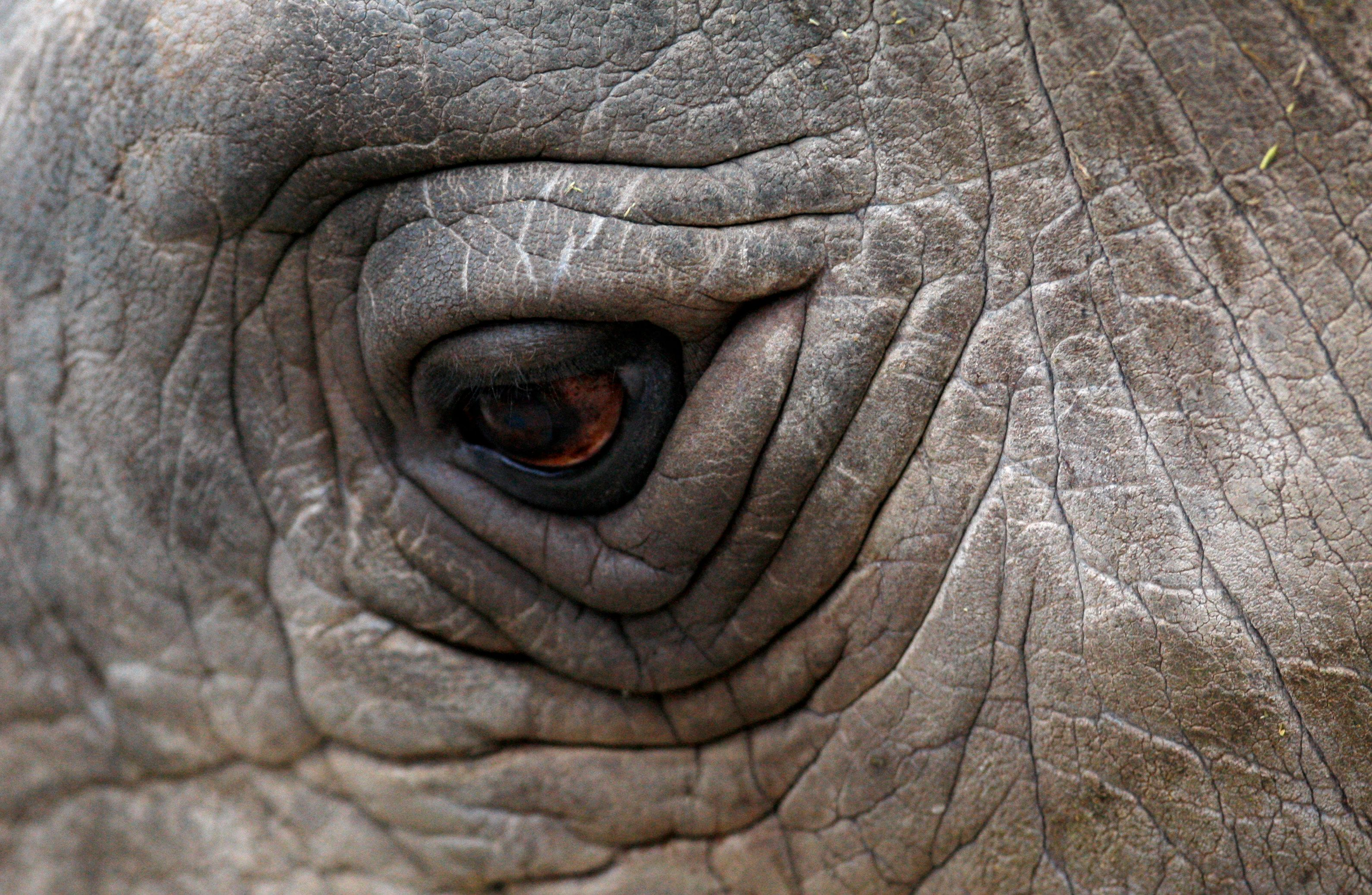 A close-up view of an eye of a Northern White Rhino named Sudan at the zoo in Dvur Kralove nad Labem in the Czech Republic December 16, 2009. Eight white rhinos live in captivity - six at the zoo in Dvur Kralove and two in the San Diego zoo - and experts believe they are among the last of the species left on the planet, as the rest of the population were killed by war and the loss of their habitat in Africa. Officials at the Czech zoo said four of the rhinos will be moved to the Ol Pejeta reservation in Kenya on Saturday in an effort to conserve the population. REUTERS/Petr Josek (CZECH REPUBLIC - Tags: ANIMALS ENVIRONMENT SOCIETY)