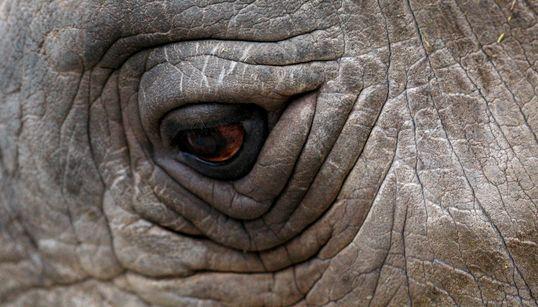 어쩌면 이것이 마지막 수컷 백색코뿔소에 대한 마지막 사진 기사일 수