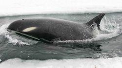 Πρώτη καταγραφή μυστηριώδους είδους φαλαινών «Όρκα» κάτω από το