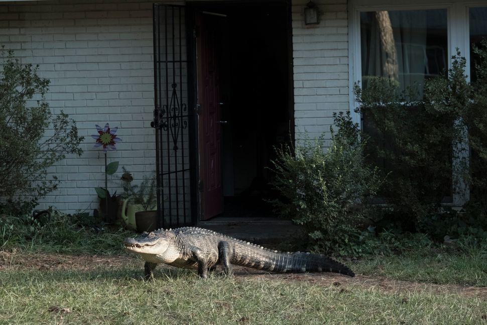 The alligator behind Alligator Man.