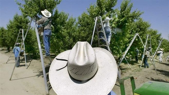 Workers pick fruit at a farm in Arvin, California. Some states are considering banning the pesticide chlorpyrifos due to the