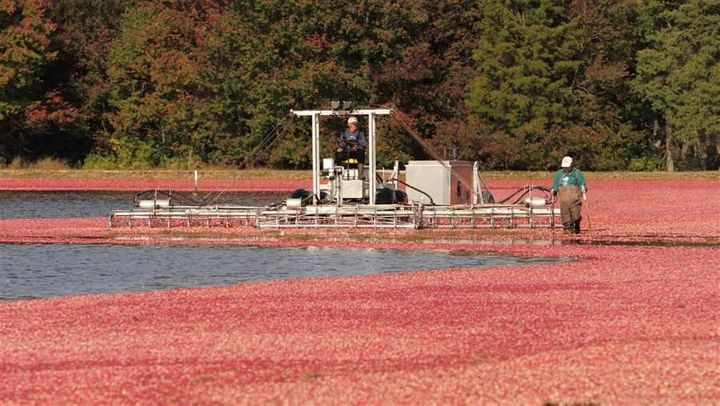 Herbert Armstrong and William Campbell operate a cranberry picker during the harvest season at Lee Brothers Inc. in Chatswort