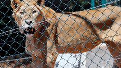 Σαουδική Αραβία: Σύλληψη θηριοδαμαστή μετά από επίθεση νεαρού λιονταριού σε
