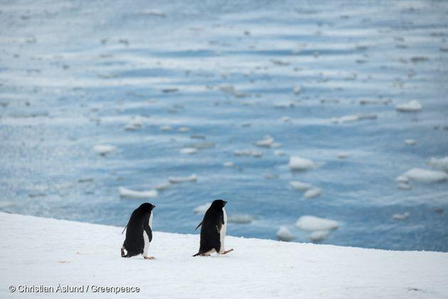 남극 트리니티 반도의 아델리