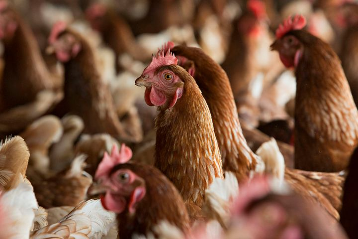Chickens in a barn at a certified organic egg farm in Illinois.