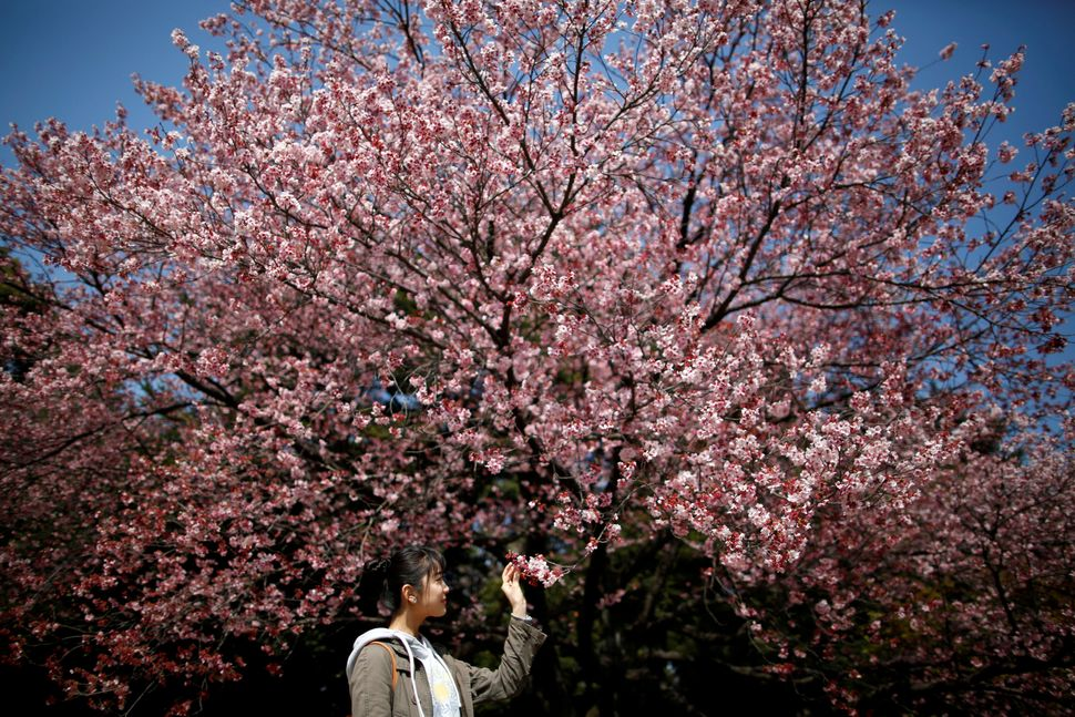 A visitor looks at early flowering Kanzakura cherry blossoms at the Shinjuku Gyoen National Garden.