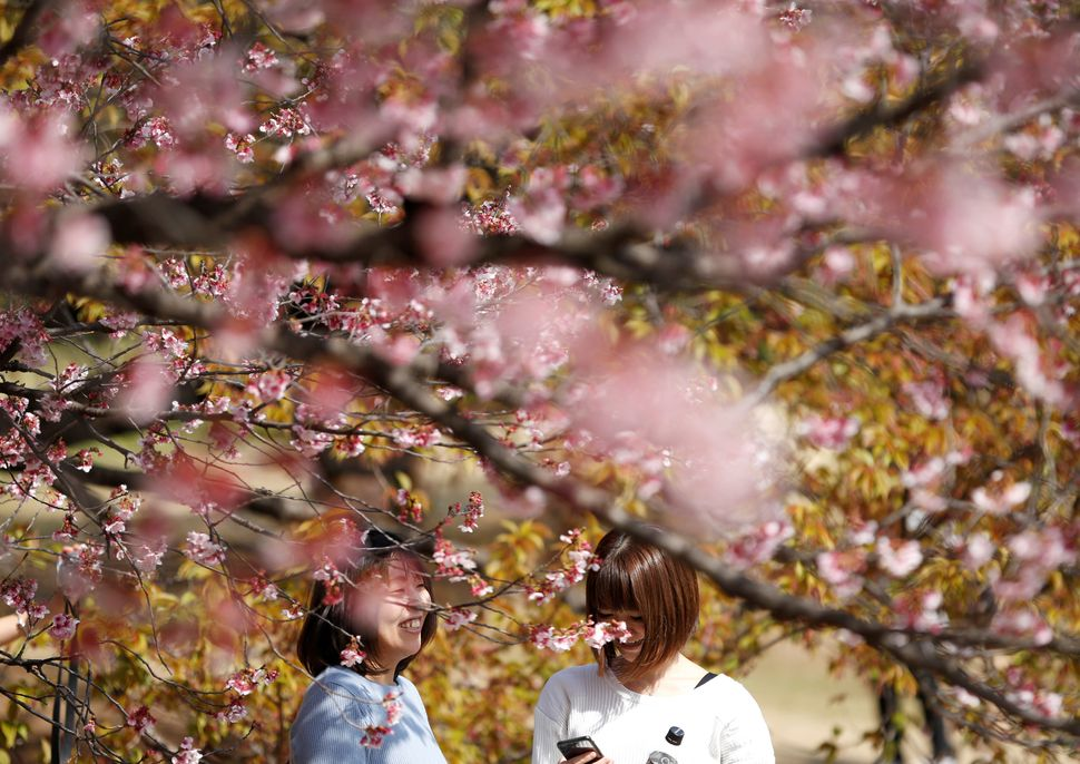 Visitors look at early flowering Kanzakura cherry blossoms in full bloom at the Shinjuku Gyoen National Garden.