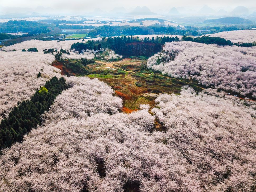 Aerial view of cherry trees in bloom at Pingba Farm.