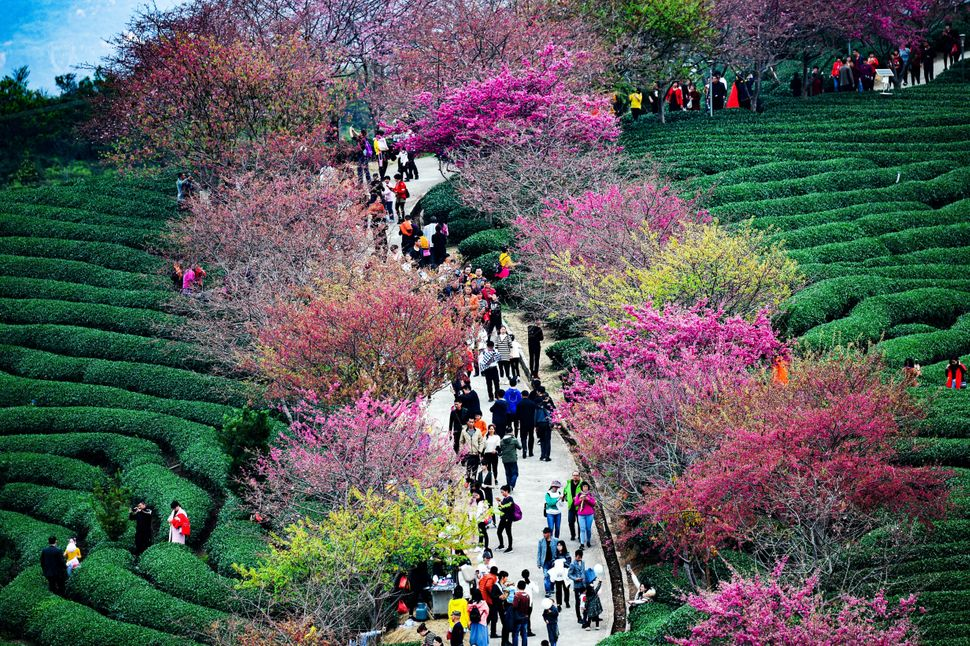 Tourists walk under the blossoming cherry trees at a tea plantation in Yongfu Town.