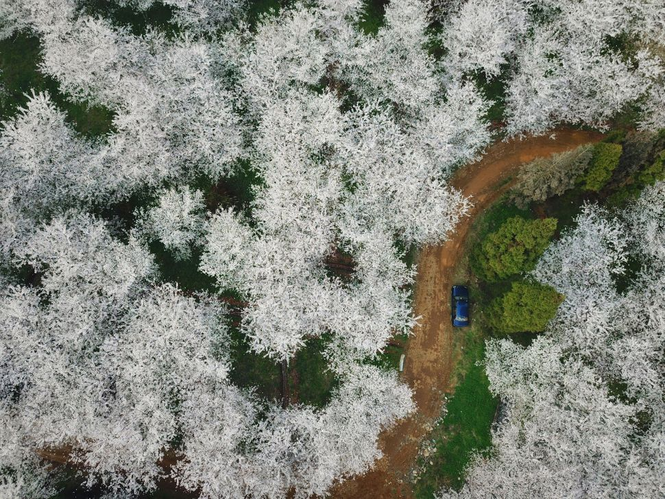 Cherry blossoms at a botanical garden in the Gui'an New Area of southwest China's Guizhou Province.